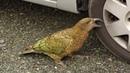 Интересные факты о попугаях Кеа