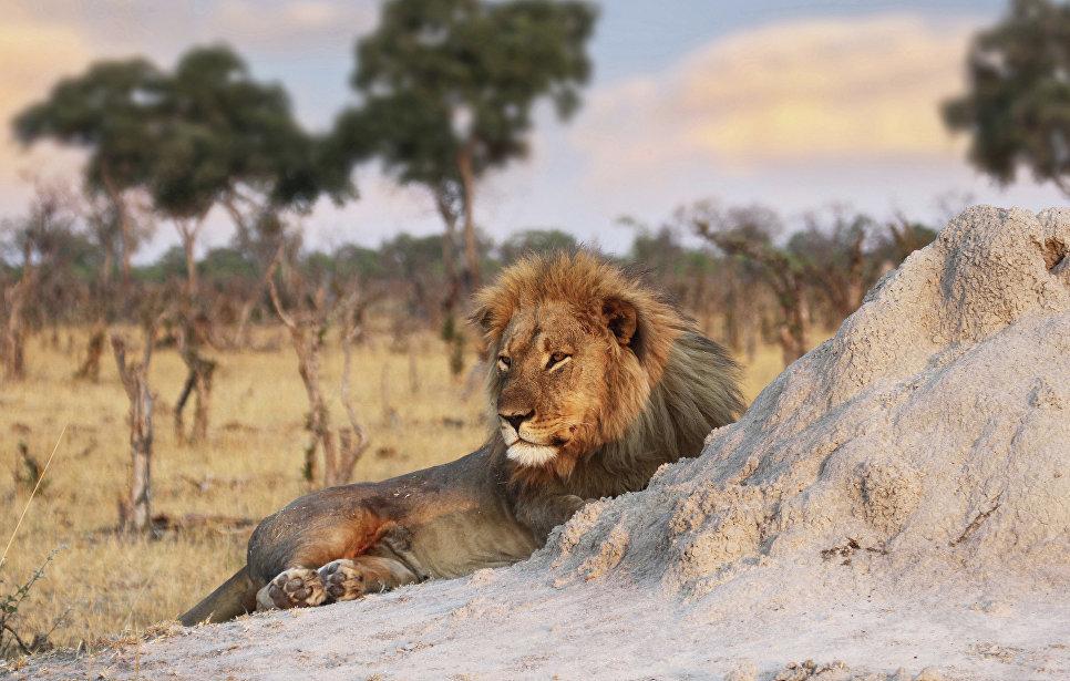 В ЮАР львы загрызли браконьеров, пытавшихся спилить рога носорогов