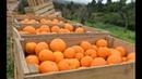Золотая жила Абхазии и африканцы как собирают мандарины