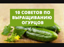 10 советов по выращиванию огурцов
