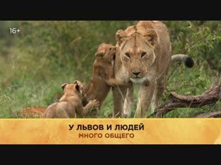 «Большие кошки» | National Geographic