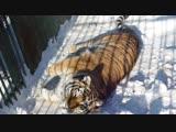 Тигрица Таисия