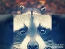 10 Самых милых фото енотов ♥♥♥