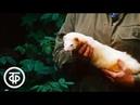 Следы невиданных зверей. Экспериментальная ферма по сохранению русской норки (1988)