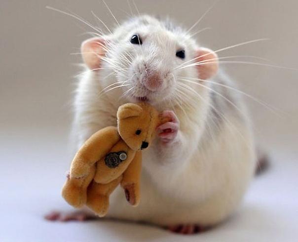 Шушера Какие ассоциации может вызвать крыса Содрогание, омерзение: фу, гадость какая с лысым хвостом и хищной мордой! Именно так и относились к этим зверькам мои знакомые, когда им буквально на
