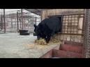 Медведь в барнаульском зоопарке утепляет берлогу