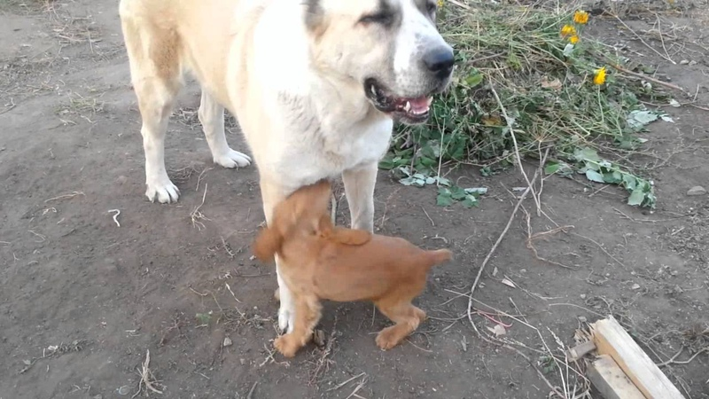 Алабай против коккер-спаниеля. Игры собак