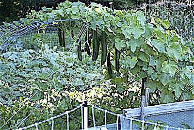 Выращивание огурцов на арках