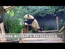 Panda Acrobat's Performance -Flexible And Chubby | iPanda