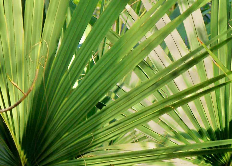 Считается, что растение пальметто имеет множество лекарственных применений