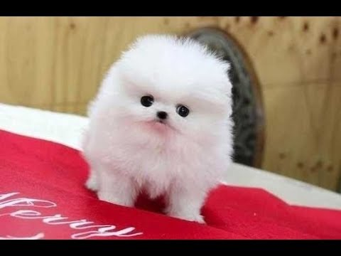 Cute Pomeranian Puppies Doing Funny Things Cute and Funny Dogs