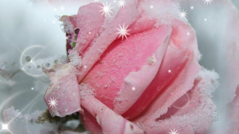 Красивые розы и пожелания в стихах ! С Днем Рождения !