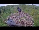 28 09 2018 11 40 Corvids on osprey nest LK kalakotkas2