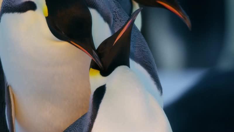 Dynasties - Emperor Penguins (S01E02)/Династии - Императорские пингвины