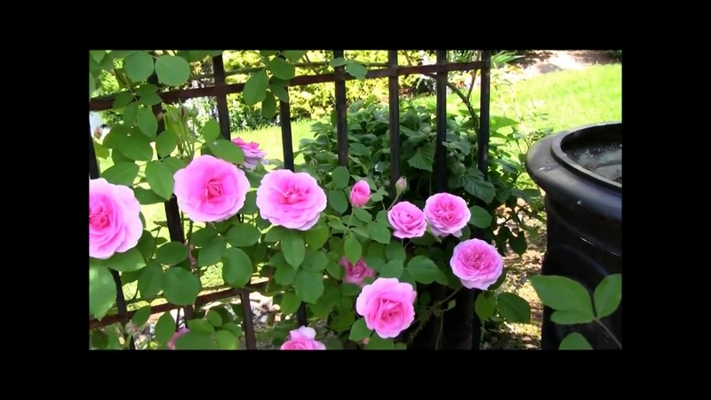 Best Way To Prune And Train Climbing Roses Перевод