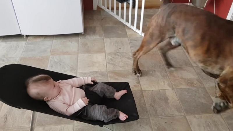 Боксерская собака пытается объяснить пиздюку что разорвет его на части завтра