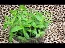 Цинния посев семян на рассаду !