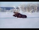 Приколы, неудачи и необычные случаи на охоте. Встреча с дикими животными часть 8