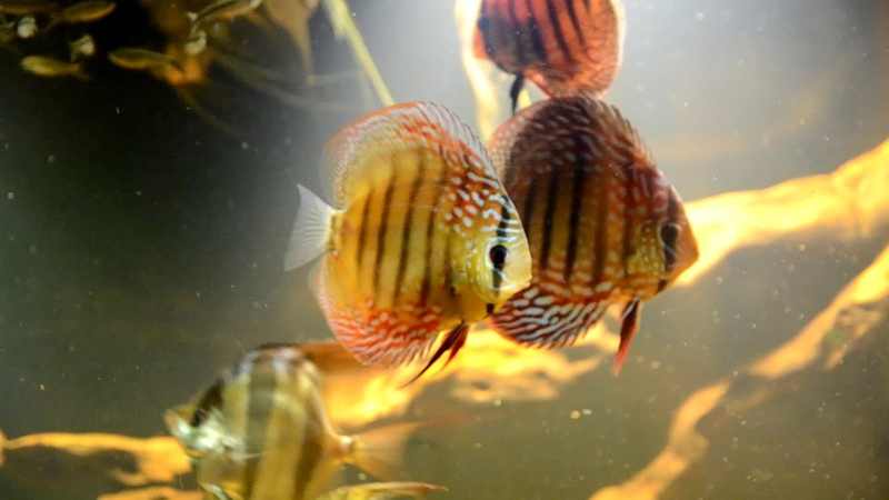 Biotop aquarium of the Amazon from DisсusKiev 1000L. Биотопный аквариум Диску Киев