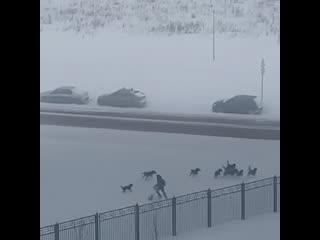 Стая собак в Солнцево напала на мужчину