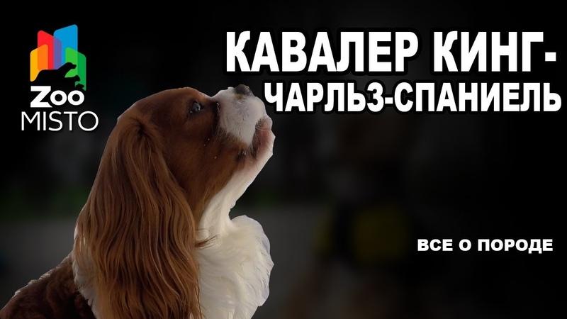 Кавалер кинг-чарльз-спаниель - Все о породе собаки   Собака породы кавалер кинг-чарльз-спаниель