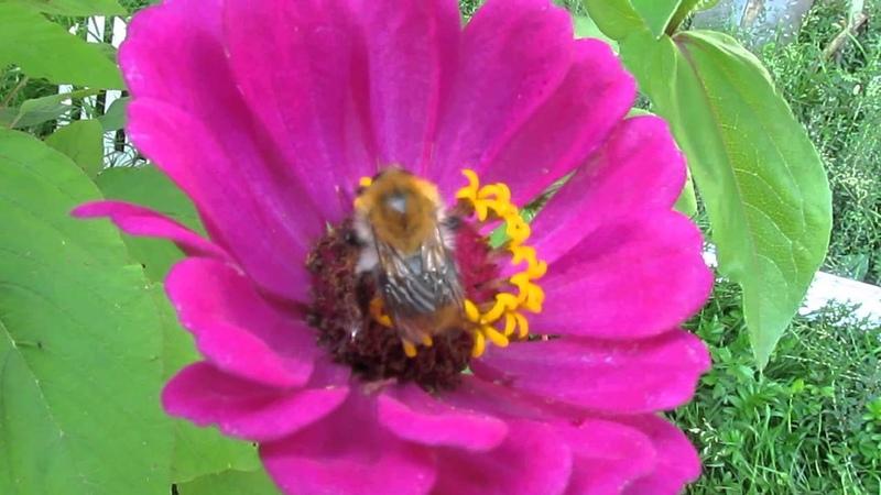 Шмель собирает пыльцу крупный план