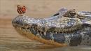 Картинка животное. Крокодил, butterfly, crocodile, Animals, two, other.
