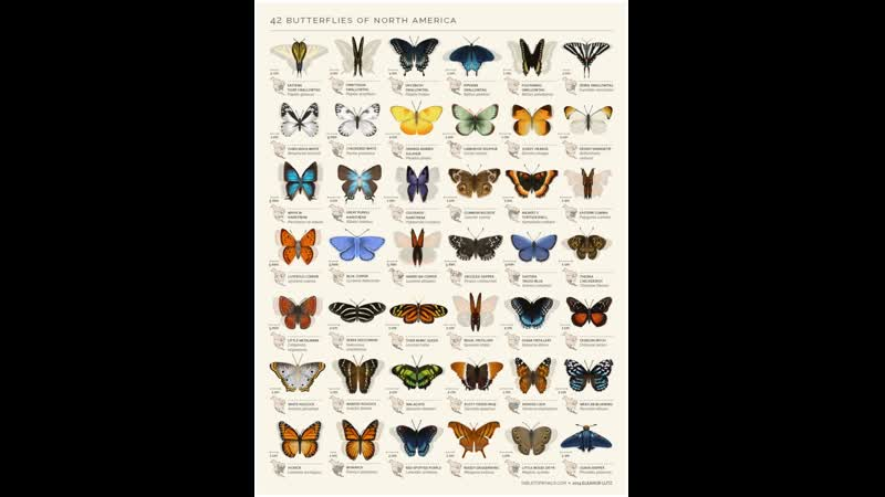 Анимация североамериканских Бабочек