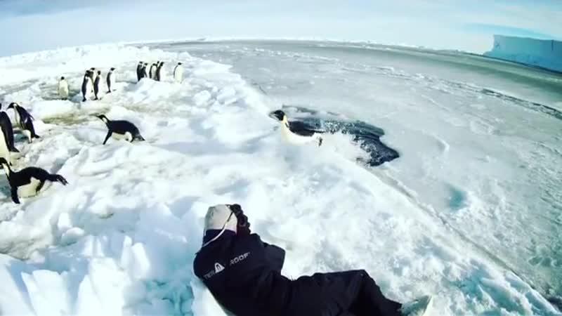 Пингвины выпрыгивают из прорубя