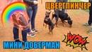 Мир собак Цвергпинчер стандарты породы Как собака переносит дорогу Как собака уживается с другими животными