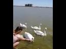 Лебеди символ Любви и Верности. Евпатория