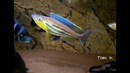 WC Benthochromis tricoti Kabogo Spawning Tom's Tanganyika channel