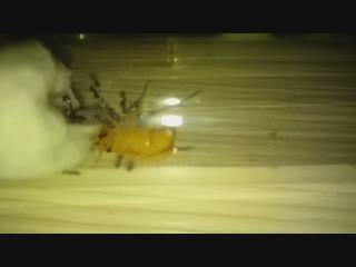 Муравьи поедают таракана