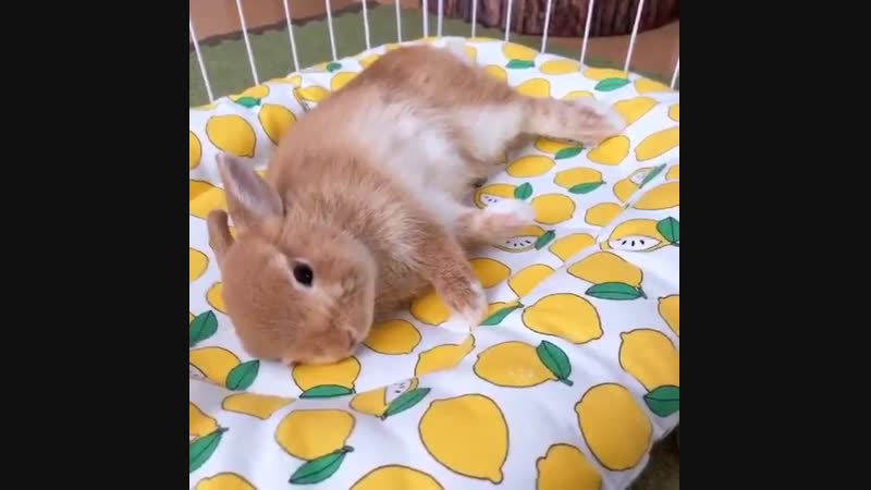 Lemon flops in his lemon bed!