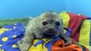 Спасённый детёныш нерпы мог бы уплыть на волю но живёт с людьми и ведёт себя как котик