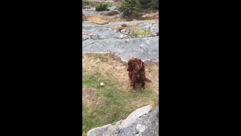 Irish setter cant be bothered to move when a ball is thrown to it