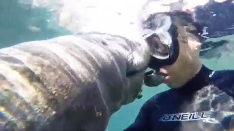 Ламантин «поцеловал» дайвера во время погружения