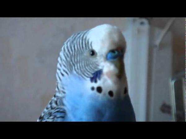 Кеша красавчик говорящий попугай