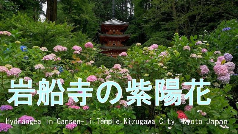 岩船寺の紫陽花 2018 京都府木津川市  Hydrangea in Gansen-ji Temple Kizugawa City, Kyoto Japan