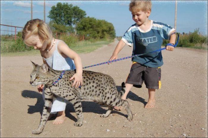 Большая кошка-саванна