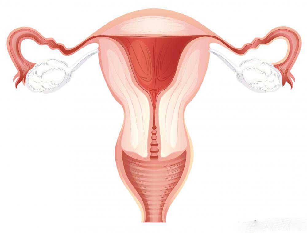 Женская репродуктивная система включает яичники, маточные трубы, влагалище, матку и шейку матки.