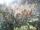 Вишневый сад.