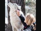 Как спасают волкособов на Аляске
