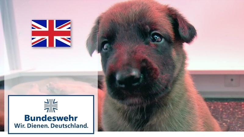 A puppy's first days shepherd dogs bred by the Bundeswehr