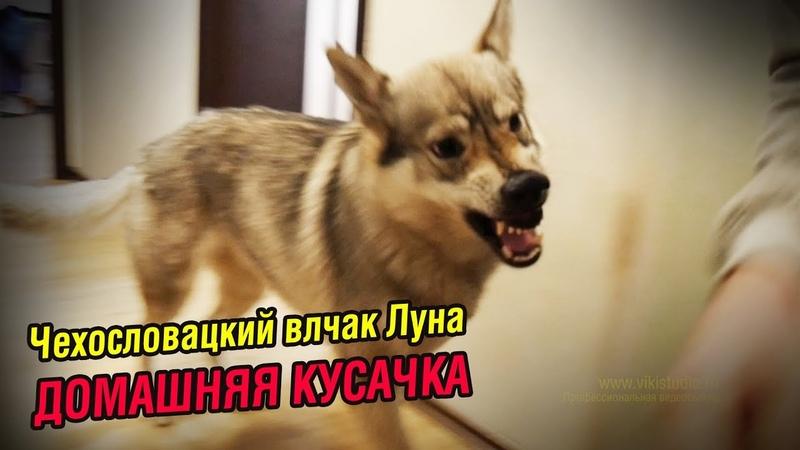 Дикие игры с влчаком, КТО сегодня будет вожаком   Домашняя кусачка