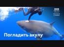 Дайвинг с беременной белой акулой