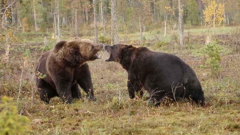 Intense Scrap Between Two Brown Bears