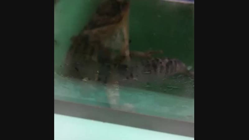 Геккон эублефар линька