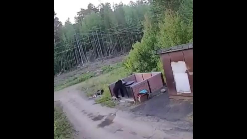 Медведь в Усть Илимске попал на камеры видеонаблюдения