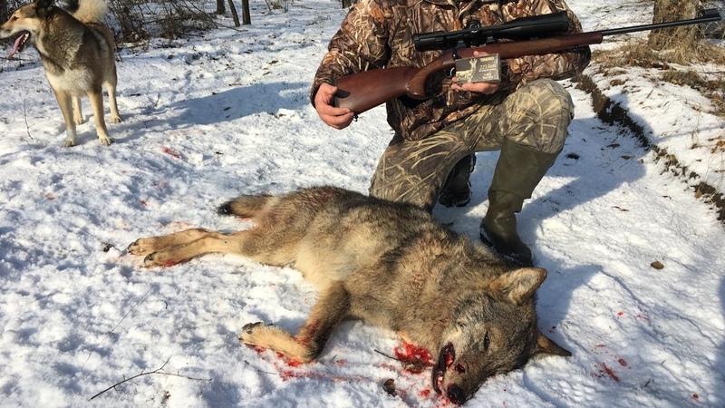 Охота на волка   Выход волка   Лиса из CZ-527   Wolf hunting 2018   Часть 1